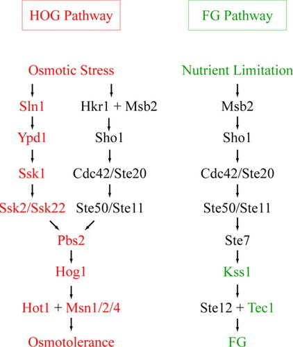 The Signaling Mucins Msb2 And Hkr1 Differentially Regulate The Filamentation Mitogen Activated Protein Kinase Pathway And Contribute To A Multimodal Response Molecular Biology Of The Cell